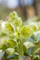 Lenten rose | March 2016
